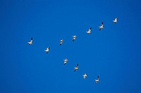 Snow Geese (Chen caerulescens) flying. California, USA