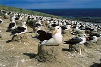 Black-browed Albatross (Diomedea melanophris) nesting colony. Jason Island, Falkland Islands, UK