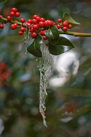 Holly berries on a bush.