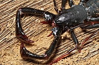 Whip-scorpion (Uropygi). Not a true scorpion. Agumbe, Karnataka, India