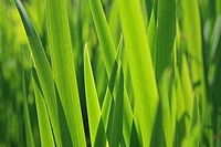 Close_up of sunlit long grass