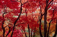 Japanese maple trees in fall colors