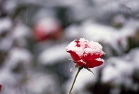 Frosty rose, close_up