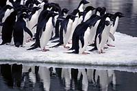 Adelie Penguin (Pygoscelis adeliae) on iceberg. Antarctica