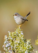 Balearica's Warbler on Rosemary, Majorca, Spain