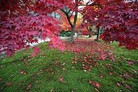 Maple tree in park, autumn