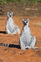 Two Ring Tailed Lemurs Lemur catta sitting on sand
