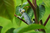 Chameleon on leaf