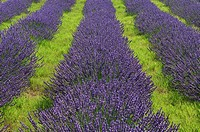 Rows of Lavender field Lavandula