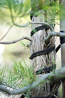 Tree trunk wrapped with straw and rope, close-up