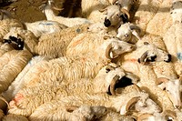 China, Xinjiang, Keriya, market, sheeps