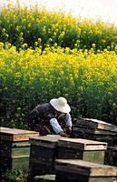 Bee keeper in canola field, Lupoing, Yunnan, China