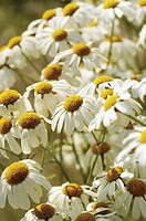 White chamomile, close_up
