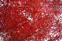 Red maple tree in autumn, low angle view