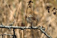 Fan-tailed Warbler (Cisticola juncidis)