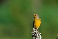 Citril Finch (Carduelis citrinella)