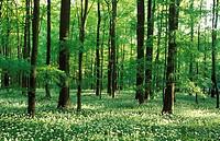 Beech Forest with Ramson (Allium ursinum) in spring, Hainich National Park, Thueringen, Germany