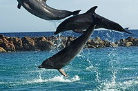 Netherlands Antilles, Curacao, bottlenose dolphin jumps during the dolphin show of the dolphin academy