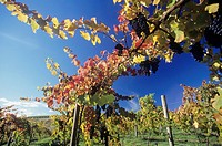 Grapes on vines in vineyard Yarra Valley Victoria Australia