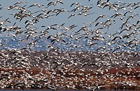 Flock of Snow Geese Chen carelessness in flight