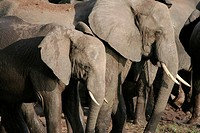 Elephants at Chobe National Park. Botswana