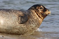 Common Seal, Phoca vitulina