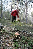 A man collecting a matsutake mushrooms Tricholoma matsutake in the surroundings of Rovaniemi.