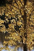 Autumn colors in Finnish Lapland. Aspen.