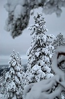 Snowy trees in Finnish Lapland.