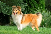 Sheltie _ standing on meadow