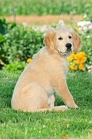 young Golden Retriever _ sitting in the garden