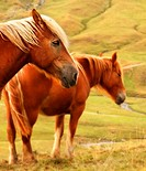 Horses, Pyrenees Mountains, France