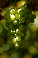 Grape, Farropilha, Rio Grande do Sul, Brazil