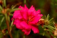 Rose, Farropilha, Rio Grande do Sul, Brazil