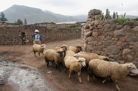 Herding sheep, Yanque, Colca Canyon, Peru