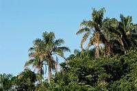 Coconut trees, Beach Pernambuco, Guarujá, São Paulo, Brazil