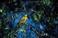 Wearver, Weaverbird, Ploceidae