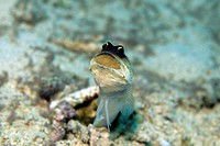 Gold_spec Jawfish, Opistognathus sp.