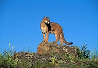 Cougar, Puma, Mountain lion, Panther, Puma concolor