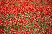 Corn Poppy, Field Poppy, Flanders Poppy, Red Poppy, Poppy, Papaver rhoeas