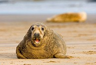 Gray seal, Halichoerus grypus
