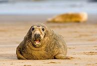 Gray seal, Halichoerus grypus