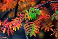 Rowan, European Rowan, Sorbus aucuparia