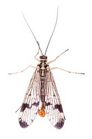 Scorpion fly, Common Skorpionfly, Panorpa communis