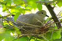 Collared dove, Eurasian Collared Dove, Streptopelia decaocto
