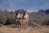 Somali wild ass, Equus africanus somaicus