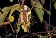 Chameleon, Chamaeleonidae