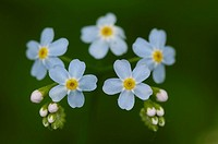 Alpine Forget_me_not, Myosotis alpestris