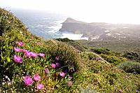 Bright purple/pink flowers on hillside of Cape Point, Cape of Good Hope, South Atlantic Ocean, South Africa