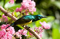 Yellowbellied Sunbird with iridescent green & purple & yellow feathers, Malawi